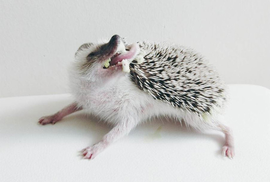 minimal-hedgehog-pictures-hogybaby-picture4