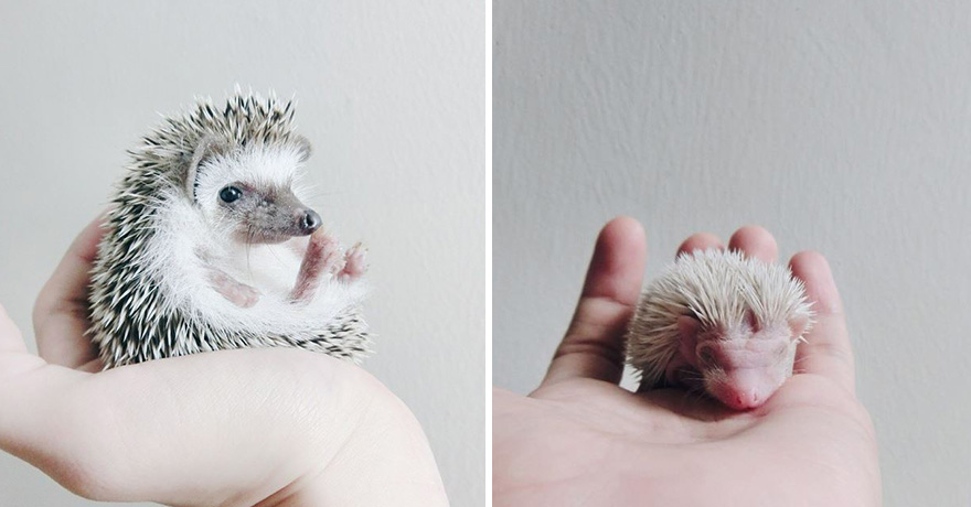 minimal-hedgehog-pictures-hogybaby-picture5