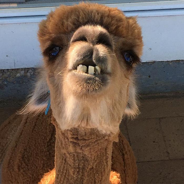 pet-alpaca-chewy-chewpaca-matt-10
