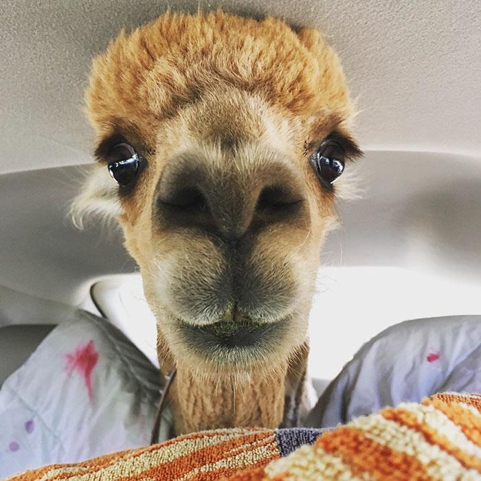 pet-alpaca-chewy-chewpaca-matt-13
