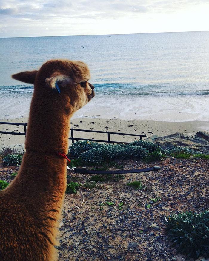 pet-alpaca-chewy-chewpaca-matt-14