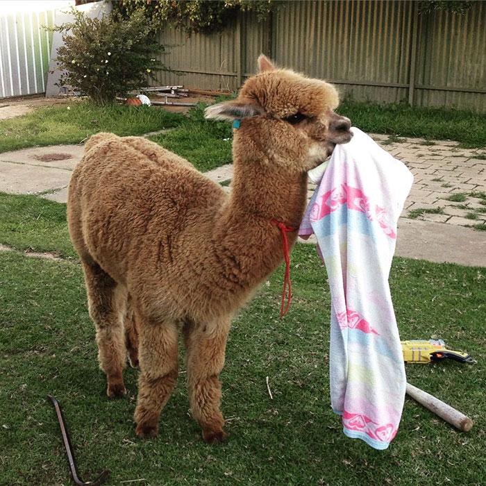 pet-alpaca-chewy-chewpaca-matt-23