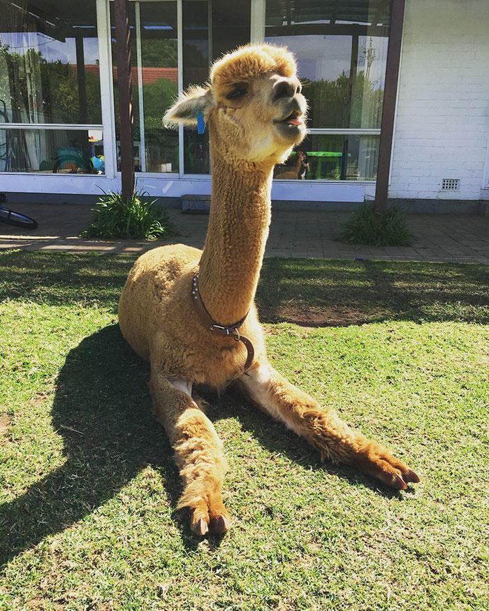 pet-alpaca-chewy-chewpaca-matt-5