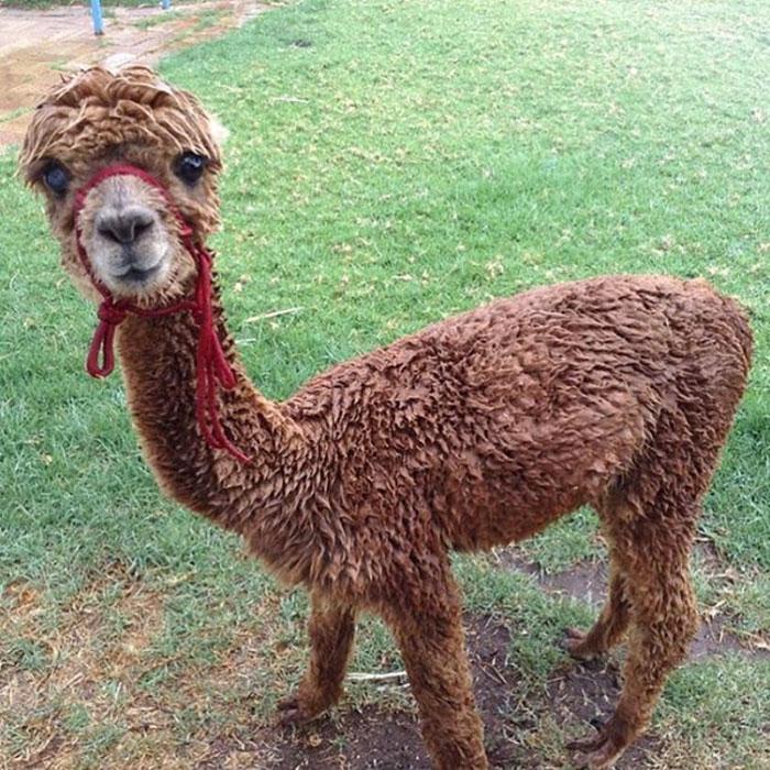pet-alpaca-chewy-chewpaca-matt-8