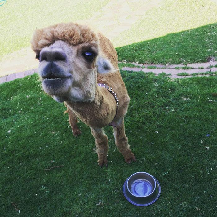 pet-alpaca-chewy-chewpaca-matt-9
