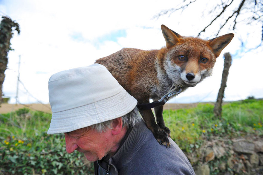 pet-renards de sauvetage-patsy-gibbons-ireland-25