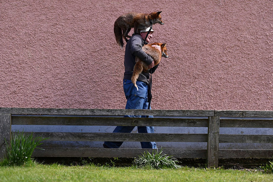 pet-foxes-rescue-patsy-gibbons-ireland-6