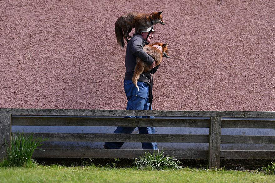 pet-renards de sauvetage-patsy-gibbons-ireland-6