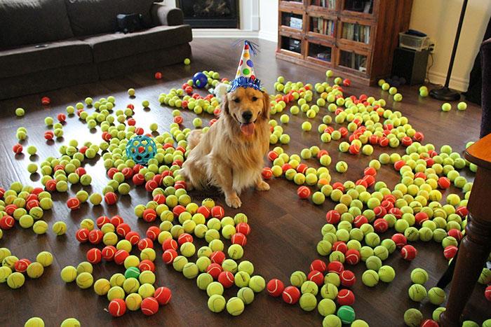 Joey Jax Turns 2! The Golden With 800 Tennis Balls!