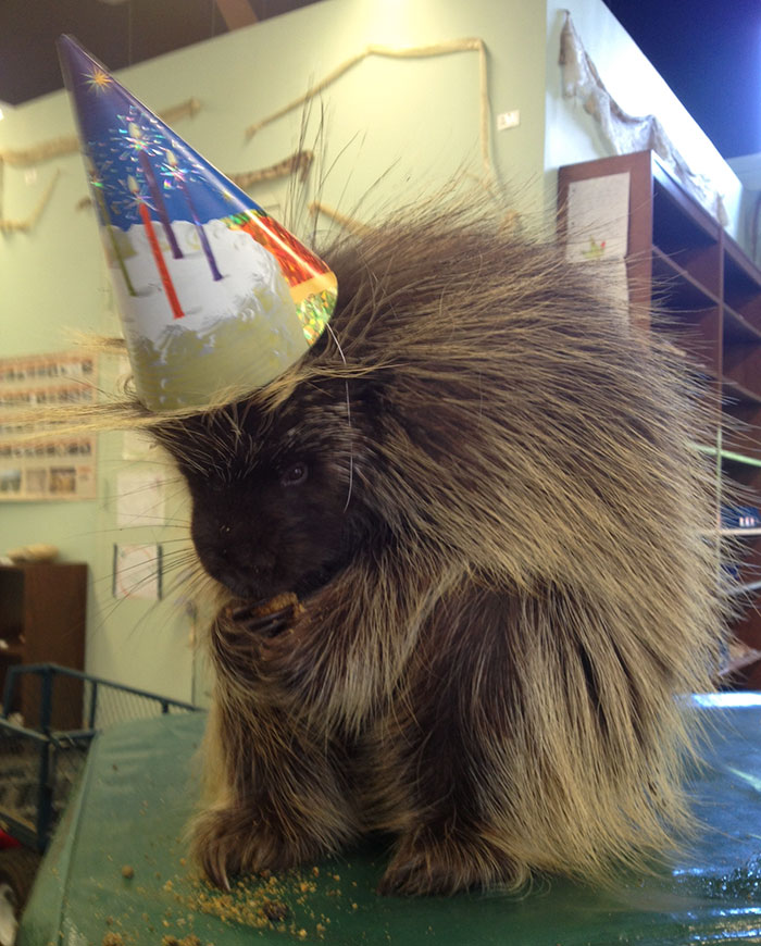 My Mom Works At The Zoo, And Yesterday Was Ernie The Porcupine's 6th Birthday