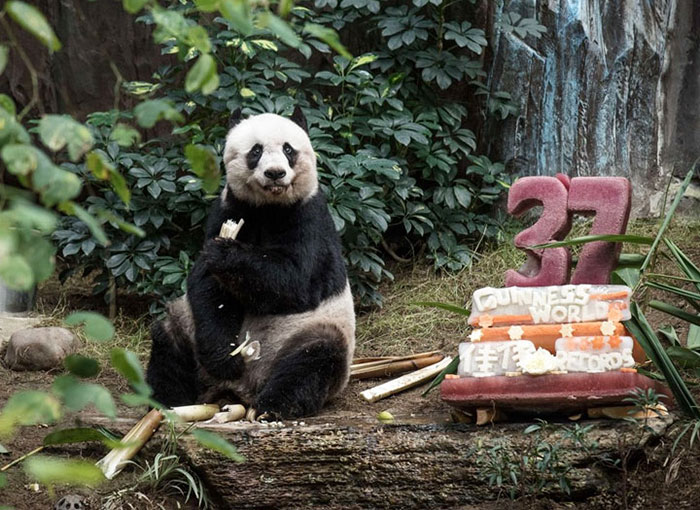 Jia Jia Just Celebrated Her 37th Birthday (that's 111 In Human Years)!