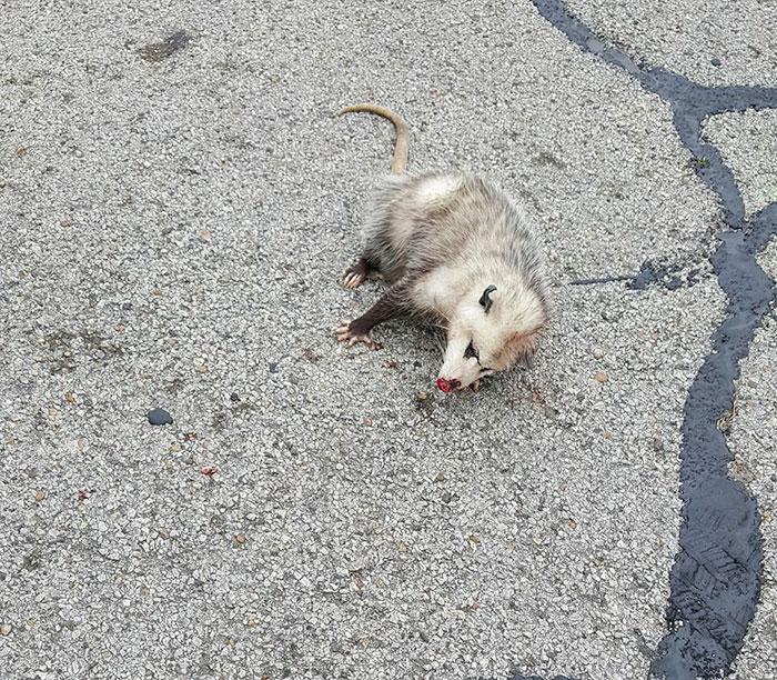 pregnant-opossum-rescued-hugs-humans-11