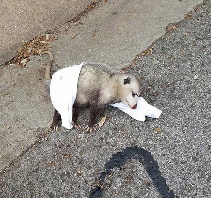 pregnant-opossum-rescued-hugs-humans-5