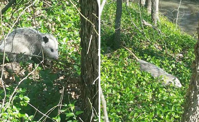 pregnant-opossum-rescued-hugs-humans-8