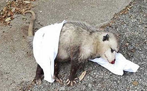 "Pregnant Opossum Found ""Dead"" Hugs The Human That Saved Her Life"