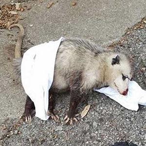 Pregnant Opossum Found