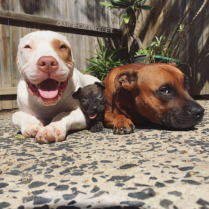 rescue-dogs-new-puppy-best-friends-potato-life-of-pikelet-a13