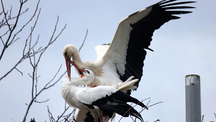 stork-flies-thousands-miles-friend-klepetan-malena-croatia-1