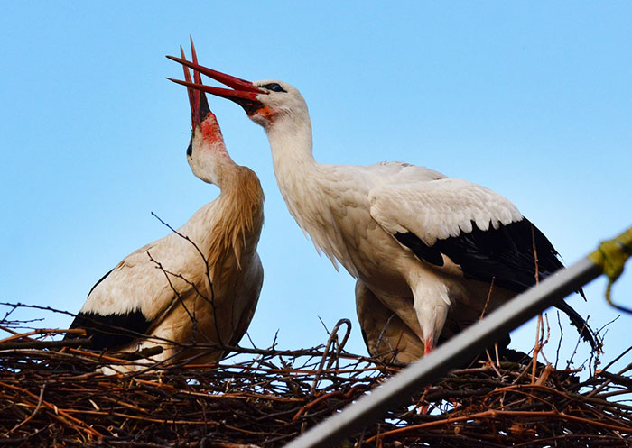 stork-flies-thousands-miles-friend-klepetan-malena-croatia-15