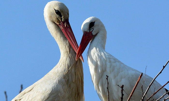 stork-flies-thousands-miles-friend-klepetan-malena-croatia-22