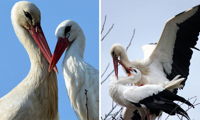 Stork Has Been Flying 13,000 km Every Year For The Last 15 Years To See His Injured Soulmate