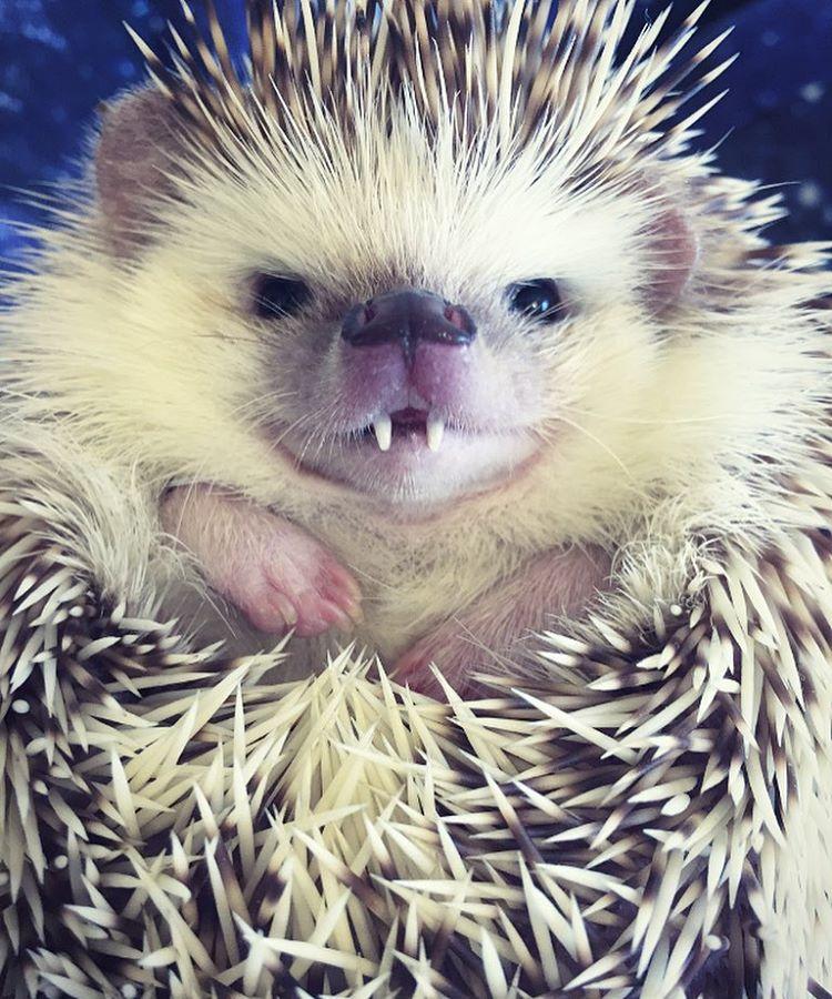 vampire-hedgehog-fangs-hodge-huffington-10