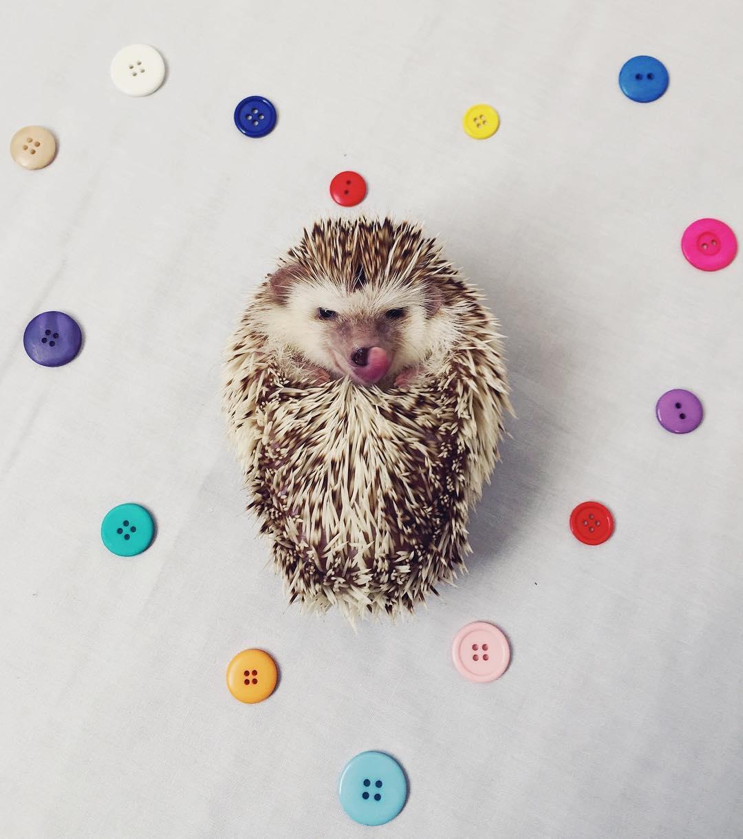 vampire-hedgehog-fangs-hodge-huffington-22