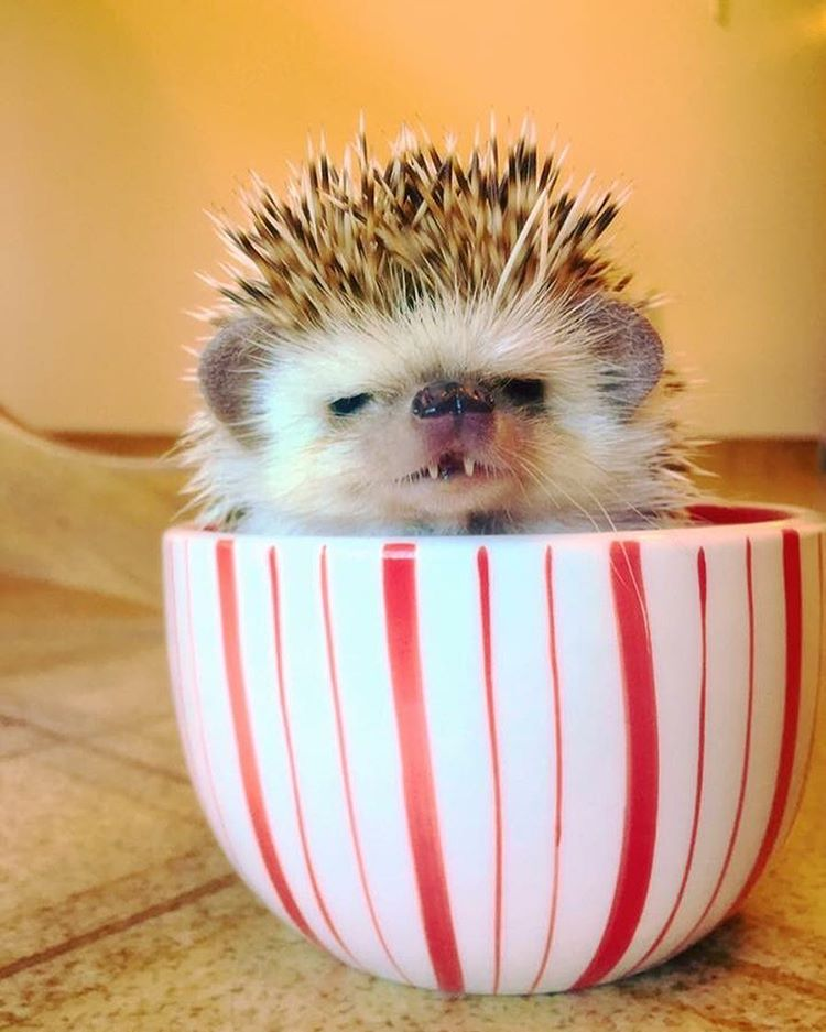 vampire-hedgehog-fangs-hodge-huffington-7