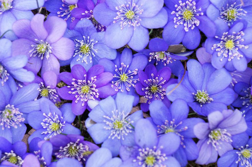 Violets' Carpet