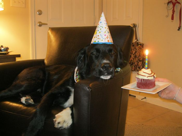 I Threw My Dog A Birthday Party Tonight. Needless To Say He Was Thrilled
