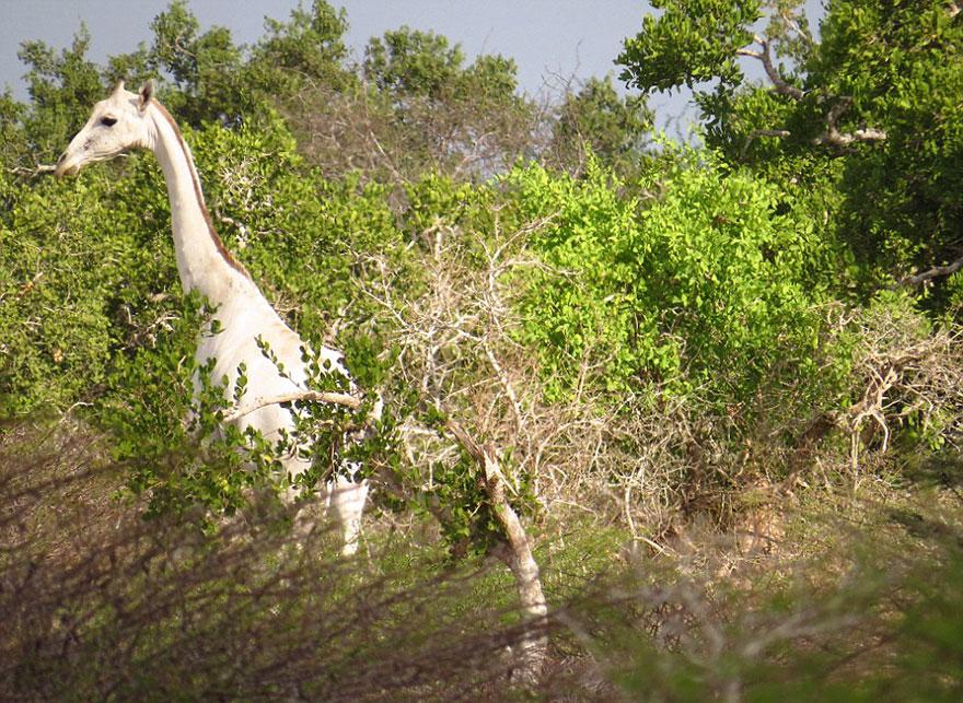 white-giraffe-albino-leucism-jamie-manuel-kenya-12
