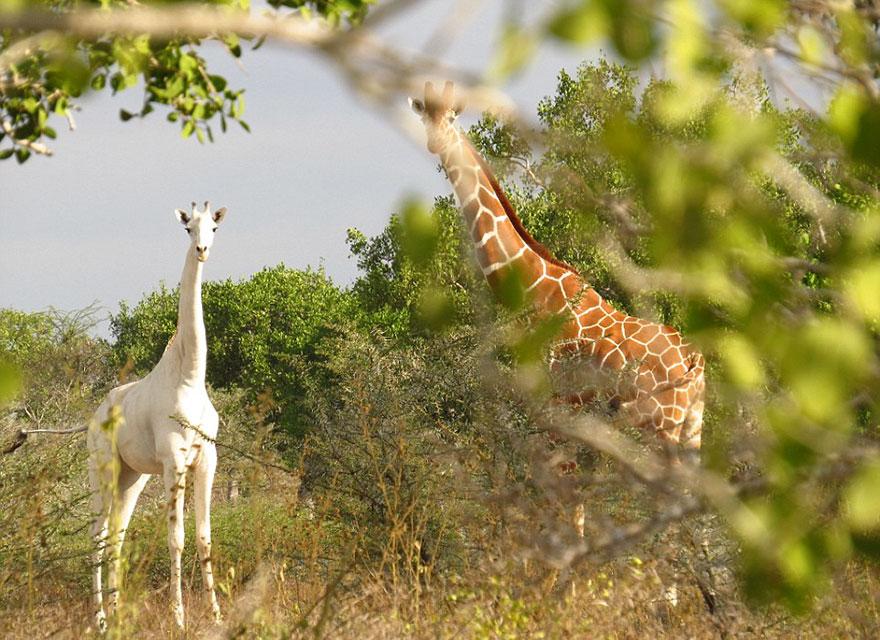 white-giraffe-albino-leucism-jamie-manuel-kenya-14