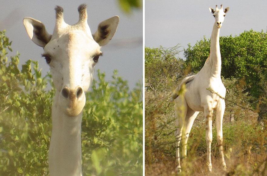 white-giraffe-albino-leucism-jamie-manuel-kenya-18