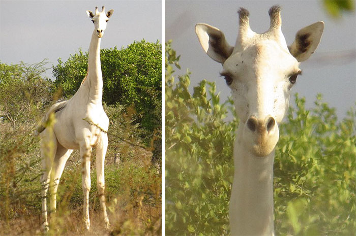 Extremely Rare White Giraffe Spotted In Kenya