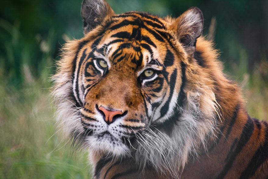 wild-tiger-population-increase-world-wildlife-fund-2