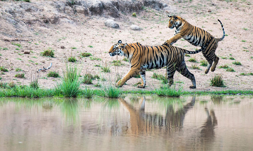 wild-tiger-population-increase-world-wildlife-fund-5