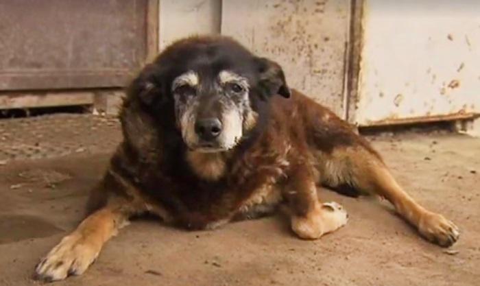 worlds-oldest-dog-dies-age-30-kelpie-maggie-6