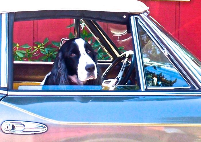 A Dog In An Old Mercedes