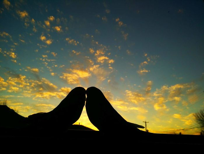 Lovers - The Silhouette Of My Two Budgies