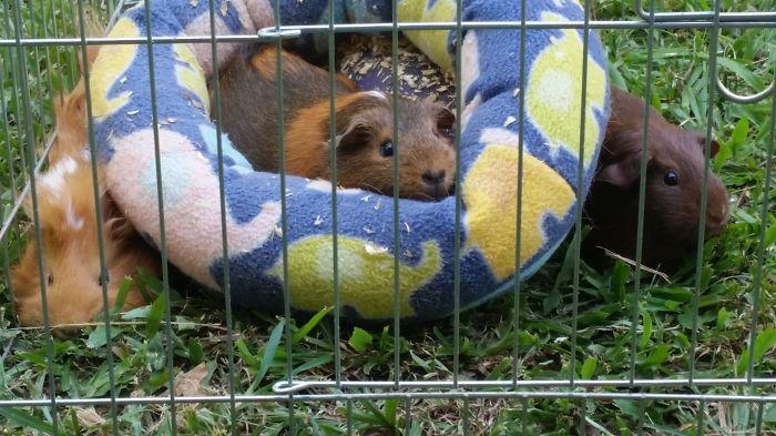 Rescue Guinea Gina Enjoying Her Favorite Bed