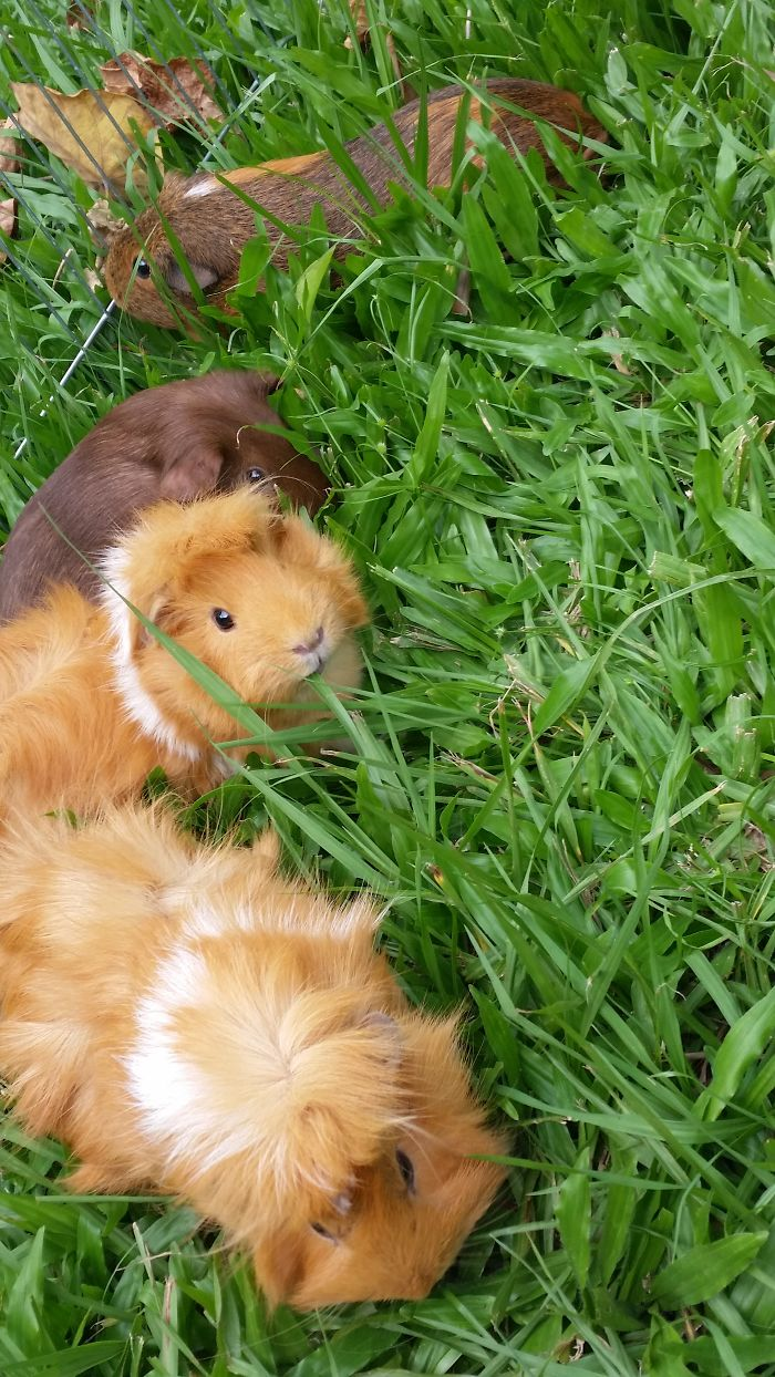 Possum The Guinea Pig Loves Her Outdoor Time With Her Friends!