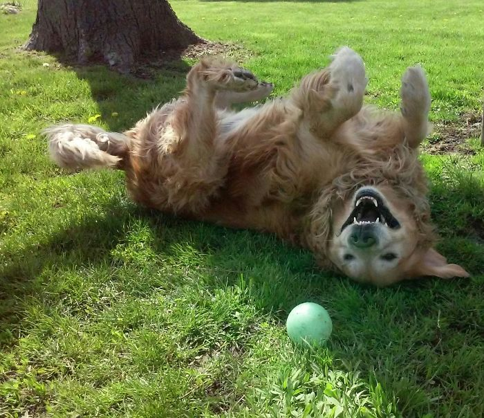This Is Marley Being His Normal Self, Having Fun Playing With His Favoritething Ball. ????