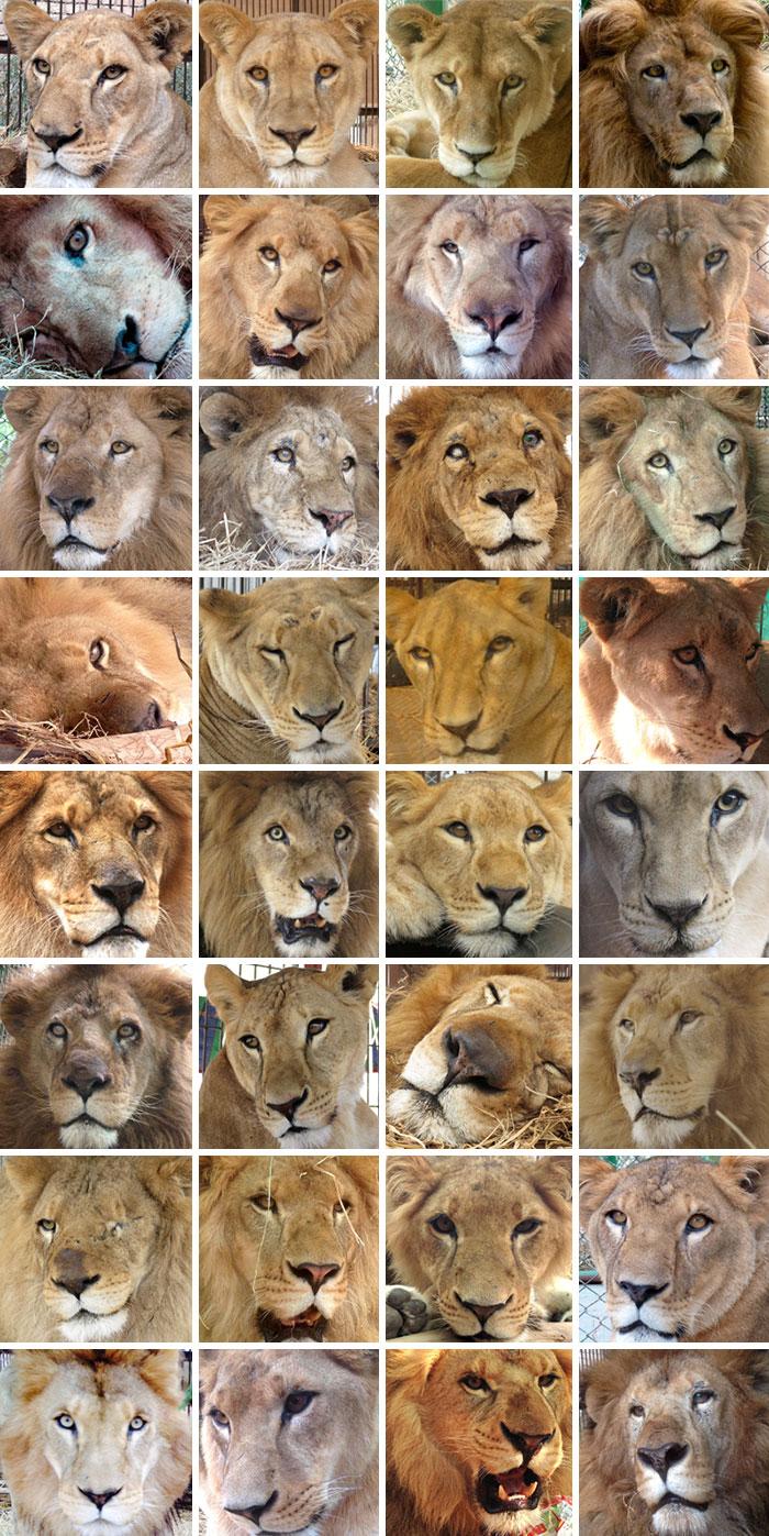 33-circus-lions-rescue-airlift-adi-africa-17