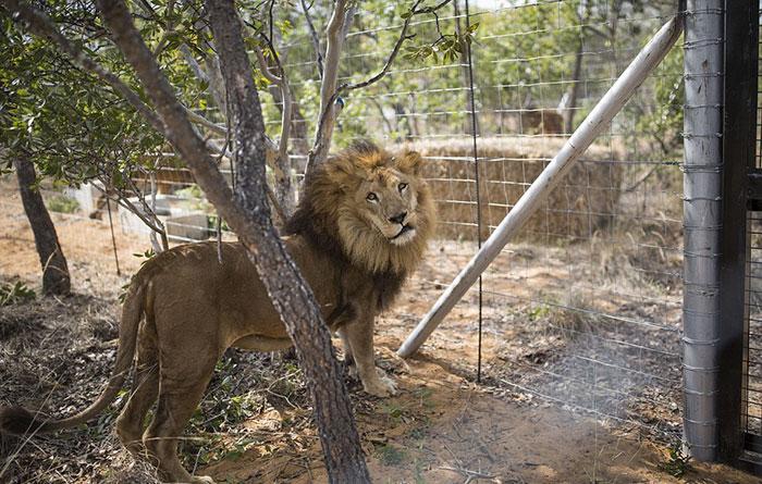 33-circus-lions-rescue-airlift-adi-africa-24