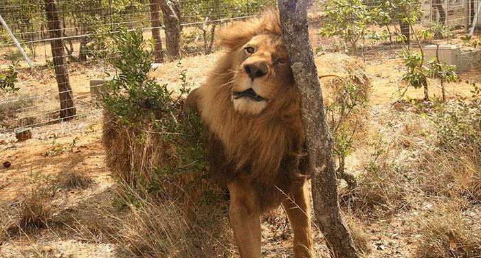 33-circus-lions-rescue-airlift-adi-africa-9
