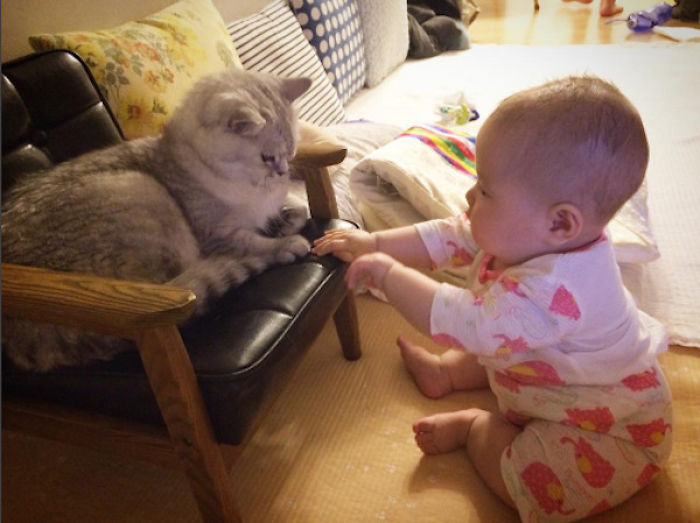 2 Adorable British Shorthairs Love Their Baby Human