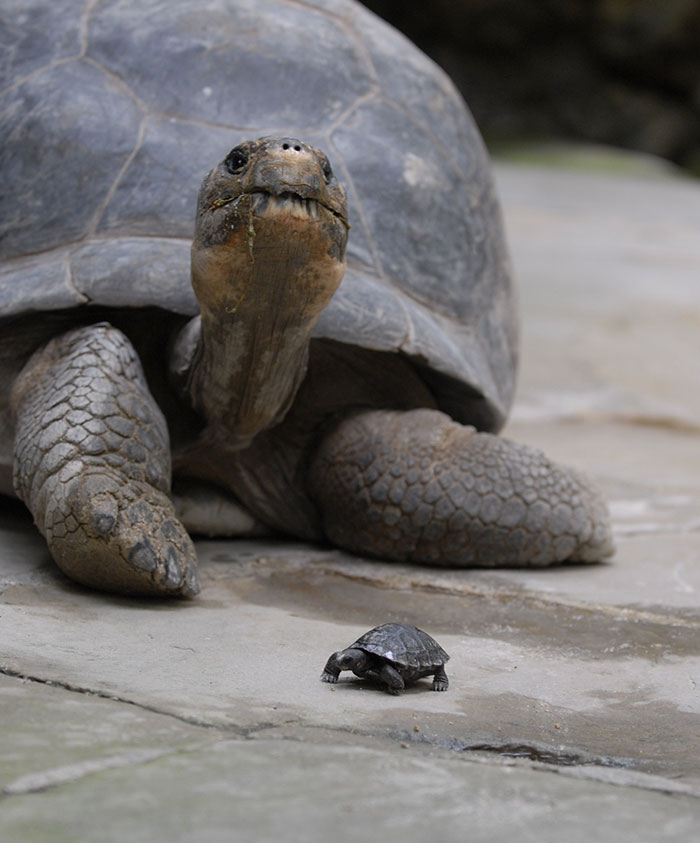 80-years-galapagos-tortoise-birth-9-babies-zurich-zoo-3
