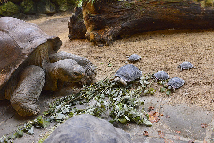80-years-galapagos-tortoise-birth-9-babies-zurich-zoo-6