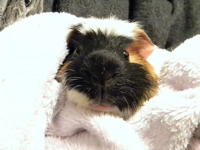 Guiney The Guinea Pig In A Blanket