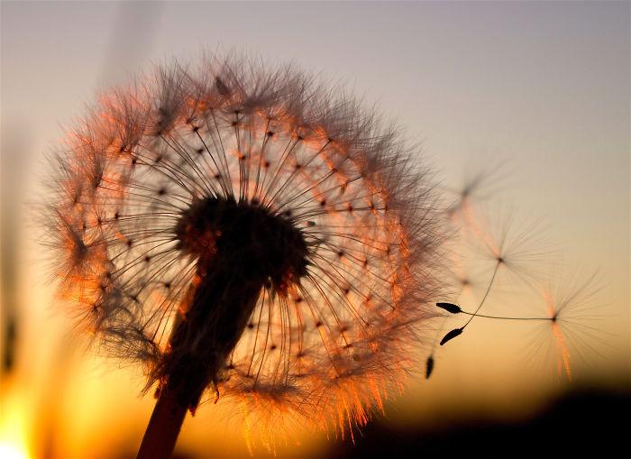 How Ordinary Dandelions Become Extraordinary